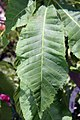 Aesculus x carnea Briotii 9zz.jpg