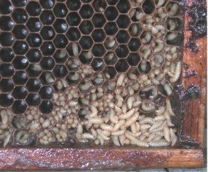 Small hive beetle - Comb slimed by hive beetle larvae. Hives infested at this level will drive out bee colonies.