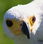 African Fish Eagle closeup, Malta Falconry Centre.jpg