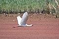 African Spoonbill, Platalea alba at Marievale Nature Reserve, Gauteng, South Africa (21588092422).jpg