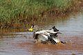African Wattled Lapwing or Senegal Wattled Plover, Vanellus senegallus at Krugersdorp Game Reserve, Gauteng, South Africa (31205486600).jpg