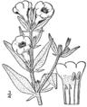 Agalinis auriculata drawing.png
