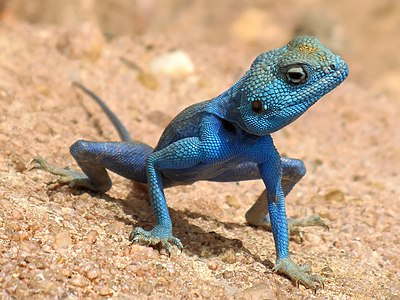 A Agama sinaita. This species is common in deserts offshores of the Red sea