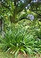 Agapanthus praecox subsp orientalis kz01.jpg