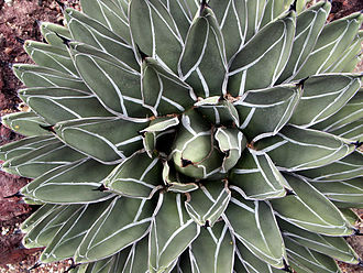 Agavoideae - Agave nickelsiae