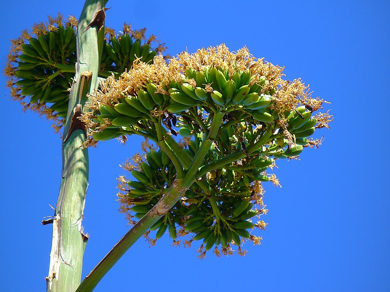 Agave americana, Agavaceae, Century Plant, Maguey, fruits. Fitou, France.