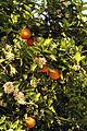 Agrumes Orangers CL J Weber04 (23592931741).jpg