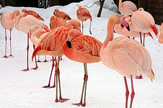Carotenoid - Ingesting carotenoid-rich foods affects the plumage of flamingos.