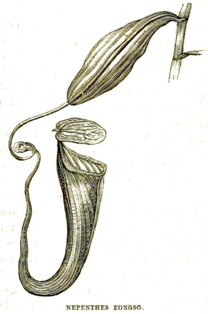 Nepenthes eongso