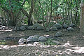 Aldabra giant tortoises on Changuu.jpg