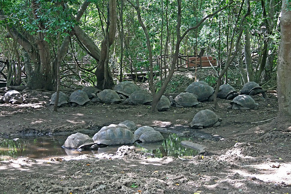 Aldabra giant tortoises on Changuu
