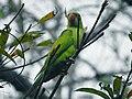 Alexandrine parakeet in early morning.jpg