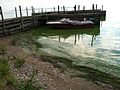 Algal bloom in Lake Erie, Kelley's Island (8741969862).jpg