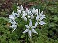Allium ursinum 124037239.jpg
