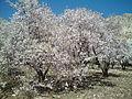 Almond Flowers.jpg