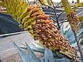 Aloe (7088230829).jpg