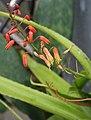 Aloe lomatophylloides IMG 2698.jpg