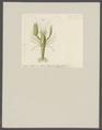 Alpheus lottini - - Print - Iconographia Zoologica - Special Collections University of Amsterdam - UBAINV0274 097 06 0002.tif