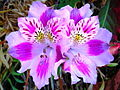 Alstroemeria pelegrina L..jpg