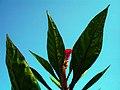 Amaranthus (4).jpg