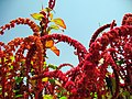 Amaranthus (6).jpg