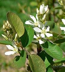 Amelanchier Utahensis Wikipedia
