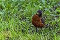 American Robin (43294865495).jpg
