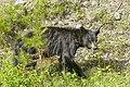 American black bear (Ursus americanus) - Jasper National Park 20.jpg