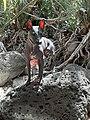 American hairless terrier Greta in Israel.jpg