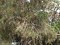 Amyema linophylla - 16319601374.jpg