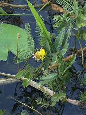 An-updated-checklist-of-aquatic-plants-of-Myanmar-and-Thailand-biodiversity data journal-2-e1019-g008.jpg