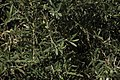 An Olive Tree's Branches.jpg