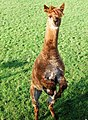 An alpaca doing a kangaroo impression, Hatton - geograph.org.uk - 1584900.jpg
