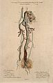An amputated nerve and artery, lettered for key. Coloured st Wellcome V0009638.jpg