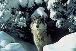 An endangered gray wolf peers out from a snow covered shelter.jpg