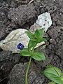 Anagallis arvensis 243.jpg