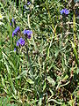 Anchusa-officinalis-uncertain-0139.JPG