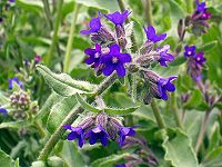 Anchusa officinalis eF
