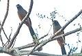 Andaman Treepie.jpg