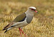 Andean Lapwing (Vanellus resplendens) on the ground, side view