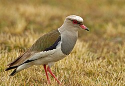 Andean Lapwing (Vanellus resplendens) on the ground, side view.jpg