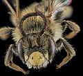 Andrena cragini, M, Face, SD, Pennington County 2013-09-06-14.03.16 ZS PMax (9792360403).jpg