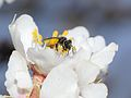 Andrena krausiella female 3.jpg
