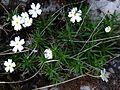Androsace lactea T69.jpg