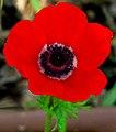 Anemone coronaria MK.jpg