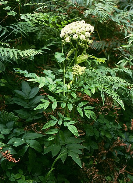 File:Angelica sylvestris 1.jpg