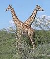 Angolan giraffe (Giraffa camelopardalis angolensis) males.jpg