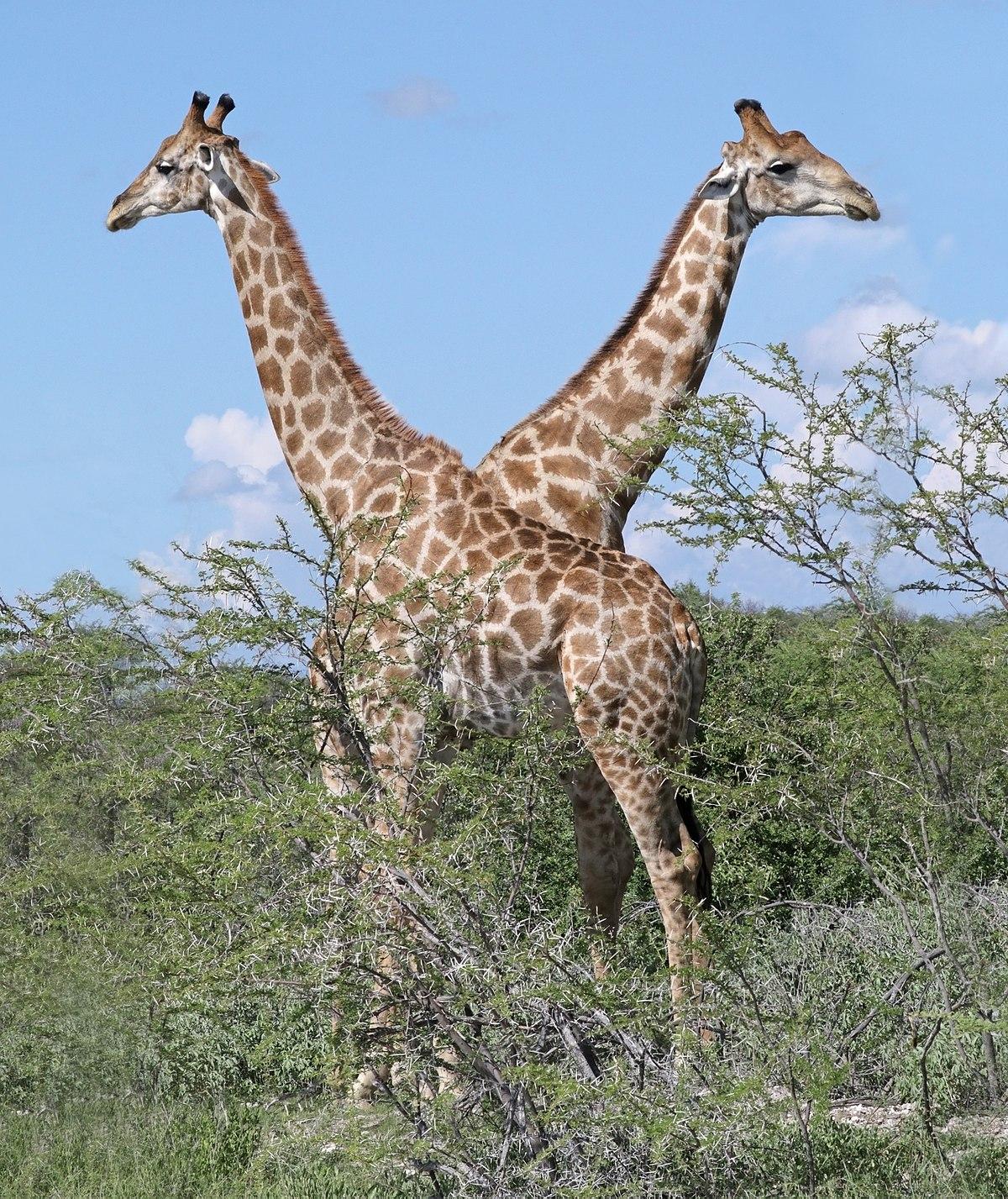Giraffe M Angolan giraffe...