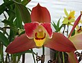 Angulocaste Red Jewel -香港花展 Hong Kong Flower Show- (33776227946).jpg