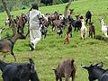 Animal husbandry in Congo.jpg